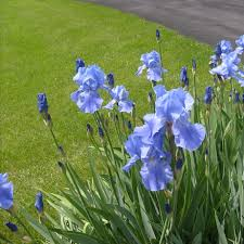 Irises How To Plant Grow by How To Easily Grow Iris From Seed