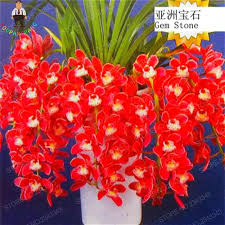 Cymbidium Orchid Aliexpress Com Buy 100pcs Blood Red Chinese Boat Orchids Seeds