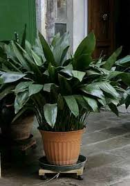 house plants that don t need light houseplants for low light horticulturehorticulture