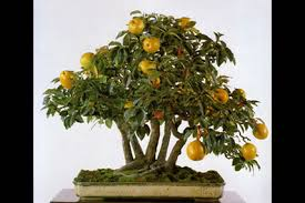 grow size fruits in a fraction of the area with bonsai trees