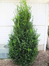 best 25 shrubs ideas on landscaping shrubs