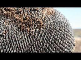 nj grown black oil sunflower harvest youtube