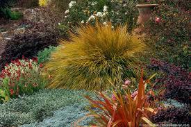 ornamental grass stipa arundinacea aka anemanthele lessoniana