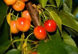 Cherry Tree Fruit - rainier cherry tree ison u0027s nursery u0026 vineyard