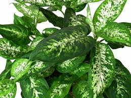 charming dieffenbachia is poisonous to pets including dogs and cats
