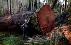 pruitt s tree resin the original miracle pav ointment