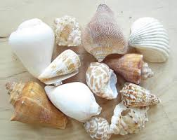 assorted seashells seashell etsy