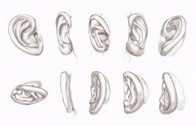 copy u0027s and studies ears by hirvios on deviantart