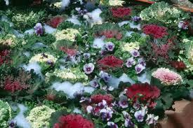 ornamental cabbage kale athens home gardenathens home garden