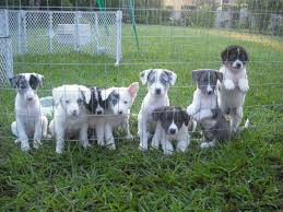 rescue an australian shepherd puppy dee u0027s white fluffy puppies are here adopted the dog liberator