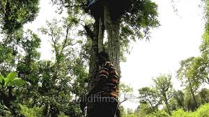 indian tribal man climbing up his tree house youtube