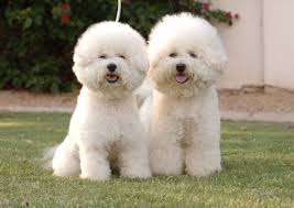 bichon frise funny top 10 expensive dog breeds