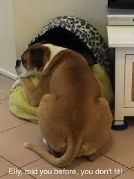 australian shepherd ugly stage blog u2014 hound dog hotel