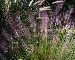 focus on natives muhly grass birds and blooms