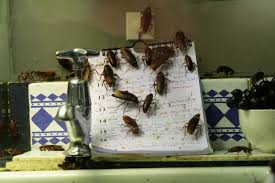 How To Get Rid Of Cockroaches In Kitchen Cabinets by Get Rid Of Roaches Without An Exterminator Explanation Guide
