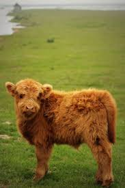 254 best hairy coos images on pinterest highland cattle