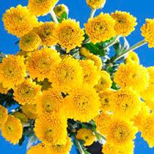 Yellow Pom Pom Flowers - yellow button pom poms global rose
