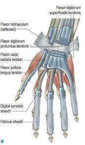 Tendon Synovial Sheath Carpel Tunnel Release Opening Of The Flexor Retinaculum