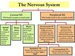 the 25 best peripheral nervous system ideas on pinterest