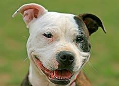 american pitbull terrier types american pit bull terrier breed information