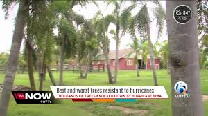 here are the best and worst trees resistant to hurricanes wptv