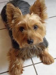silky terrier hair cut silky terrier cuts google search pet care pinterest silky