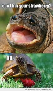 Funny Turtle Memes - a turtle meme in occasion of laura s birthday so cute