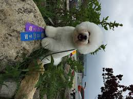 bichon frise kennels akc winner dog and american bred bichon frise tikaas legal tender