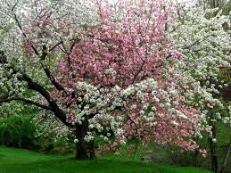 trees with white flowers pink and white flowers on the same tree pixdaus