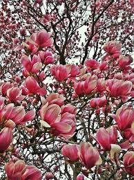 garden decor heavenly image of light pink flower magnolia tree