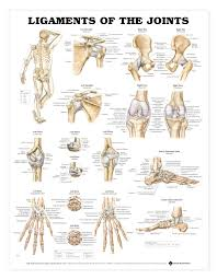 Human Anatomy Skeleton Diagram Human Anatomy Skeletal System Skeleton Middle Human Anatomy Charts