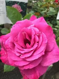 Lavender Roses Lavender Roses U2013 Northland Rosarium