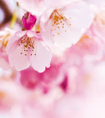 spreading plant a weeping cherry tree this
