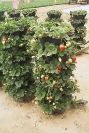 vertical gardening for strawberries i wonder how many times i can