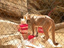 Houston Zoo Lights Prices by Uh Mascot Shasta Celebrates Wild Birthday At Houston Zoo Houston