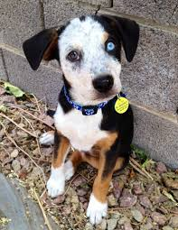 australian shepherd australian cattle dog mix our precious indigo pup we were told he was acd beagle mix at the