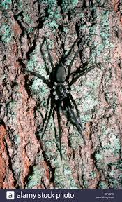 southern house spider black hole spider female kukulcania stock