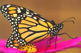 monarch butterflies could become extinct guardian liberty voice