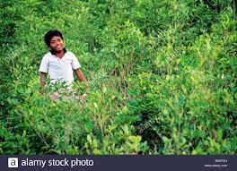 imagenes de sud yungas a boy in a legal coca plantation of chicaloma chulumani sud yungas