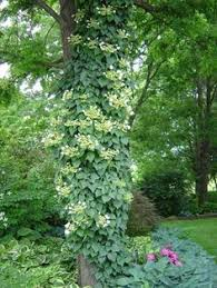 japanese climbing hydrangea vine cottage garden