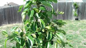 Planting Fruit Trees In Backyard Kieffer Pear Fruit Tree Backyard Orchard Youtube