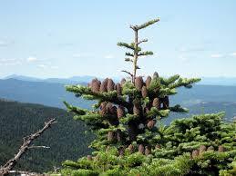 balsam fir info how and when to plant balsam fir trees