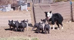 australian shepherd quiz australian shepherds herding piglets is everything you never knew