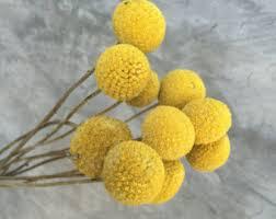billy balls dried billy balls etsy