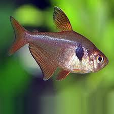 Buy Ornamental Fish Aquarium Fish Archives Rad Aquasystem Tetra Fish