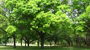 reviving nourishing and keeping dfw trees green green tree revival