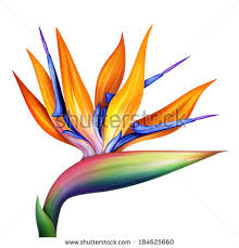 bird of paradise flower strelitzia bird paradise flower isolated on stock illustration