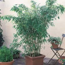 bamboo common hardy grasses u0026 bamboo by variety perennial plants