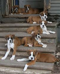 boxer dog training tips here u0027s why nothing beats a boxer as an ideal family dog heavens