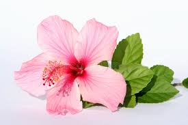 pink flower pink flower stock photo image of detail summertime 327142